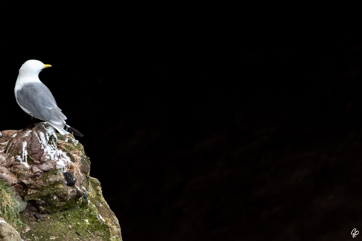 Mouette tridactyle - RSPB Fowlsheugh, Ecosse