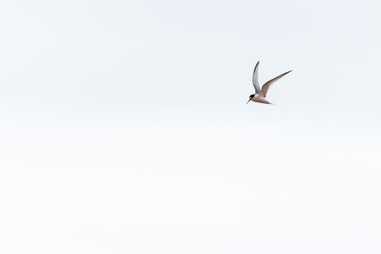 Sterne naine - Réserve de Forvie, Newburgh, Ecosse
