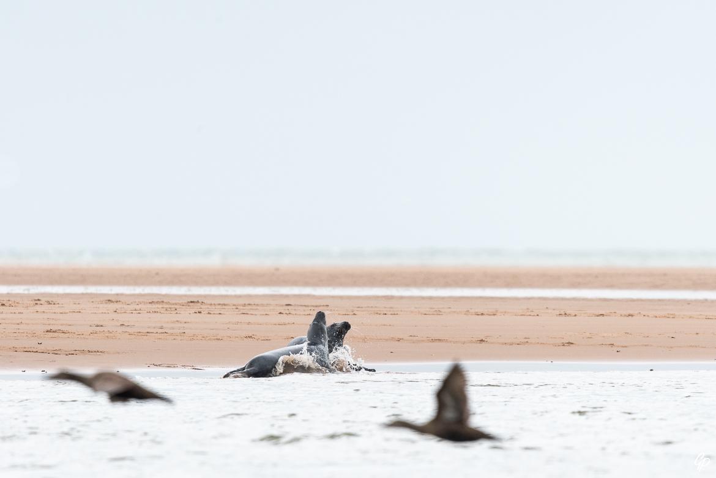 Combat de phoques gris et Eiders à duvet - Réserve de Forvie, Newburgh, Ecosse