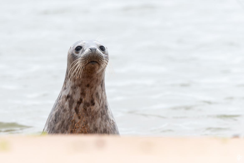 Phoque gris - Réserve de Forvie, Newburgh, Ecosse