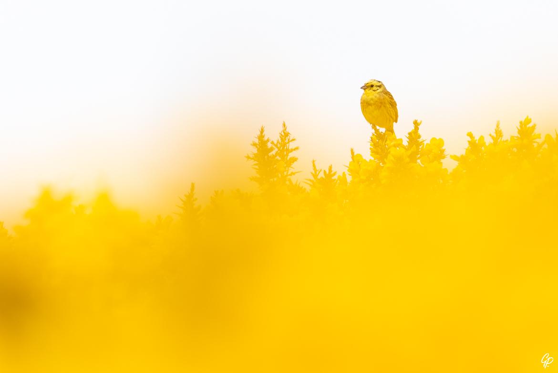 Ton sur ton - Bruant jaune dans les ajoncs - RSPB Troup Head, Banff, Ecosse