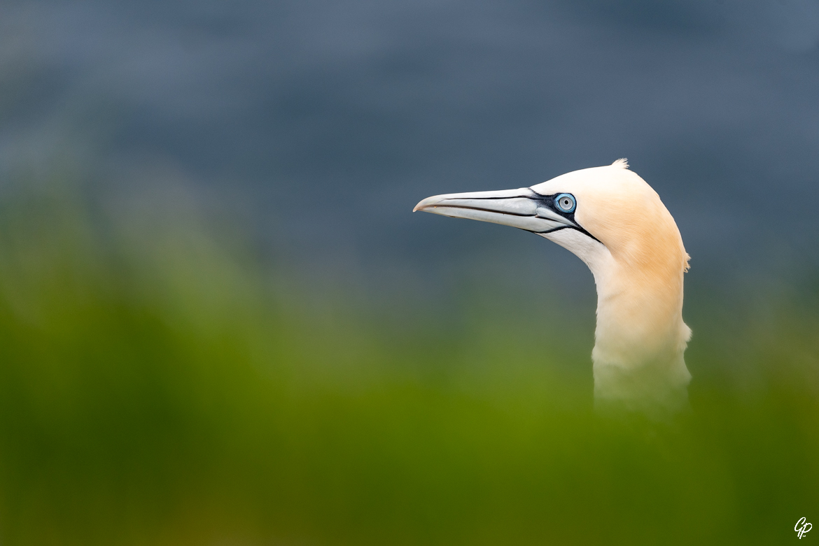 Portrait de Fou de Bassan - RSPB Troup Head, Ecosse