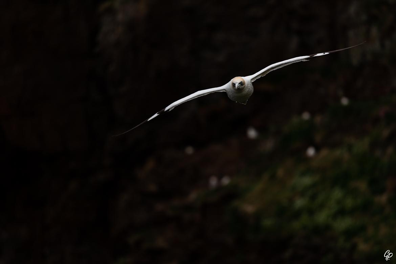 Fou de Bassan en vol devant les falaises - RSPB Troup Head, Ecosse