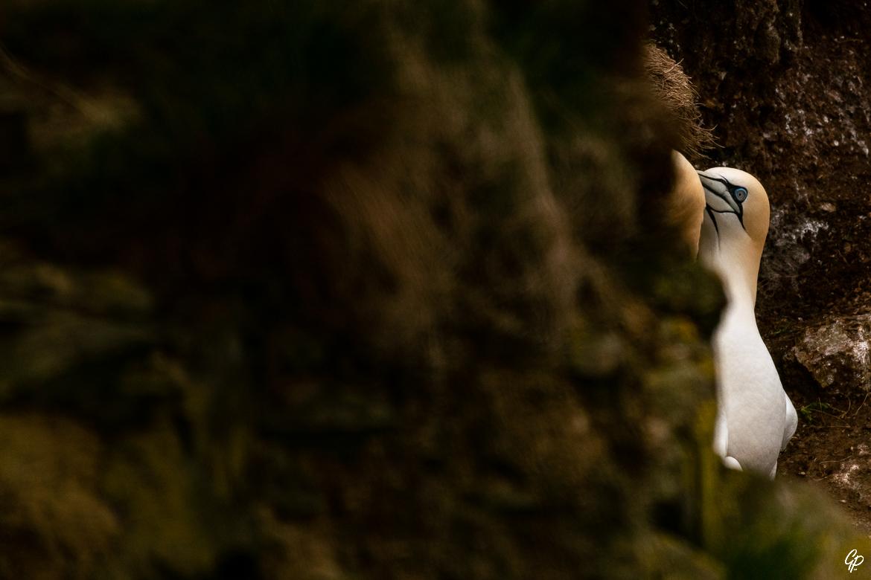 Couple de Fous de Bassan - RSPB Troup Head, Ecosse