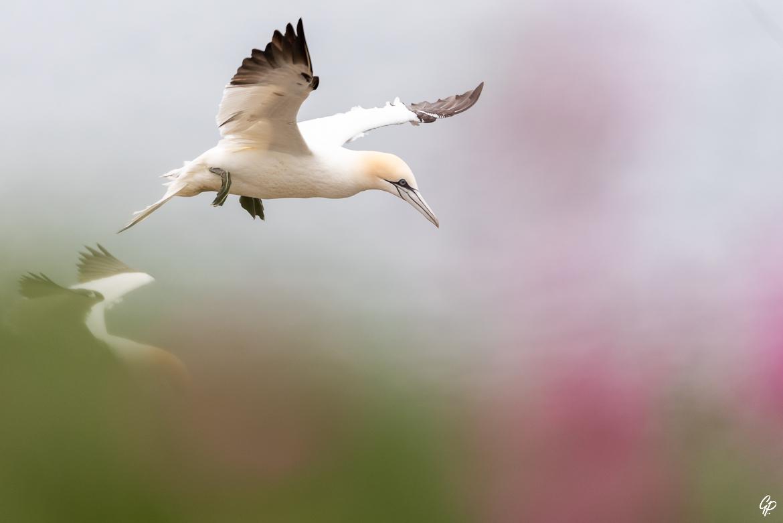Atterrissage dans les fleurs - Fou de Bassan - RSPB Troup Head, Ecosse