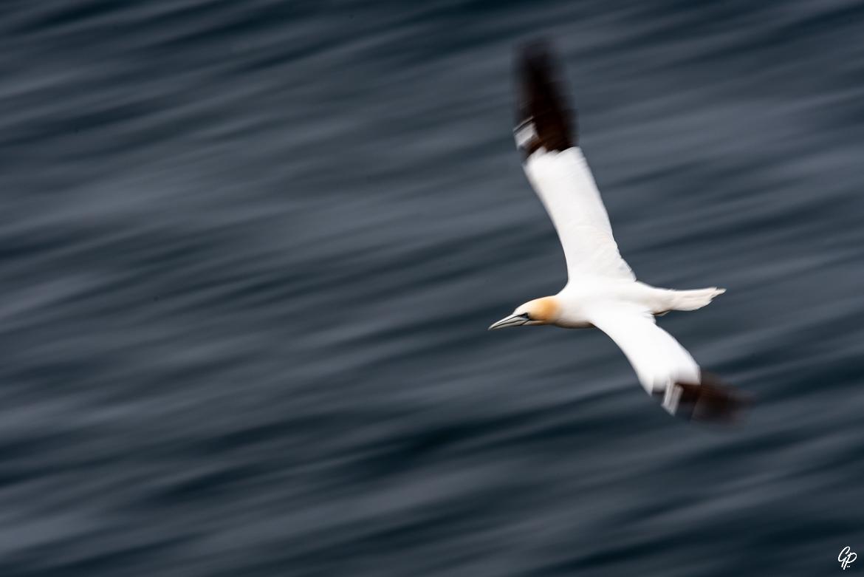 Pose longue sur le Fou de Bassan en vol - RSPB Troup Head, Ecosse