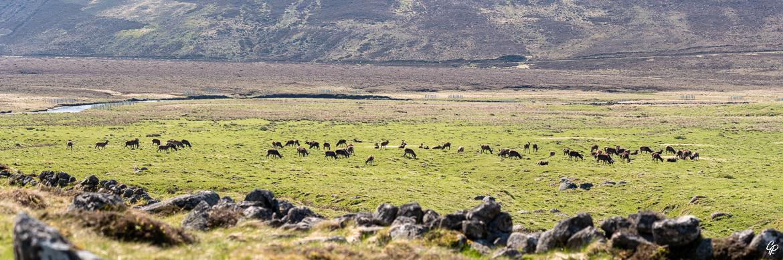 Harde de cerfs élaphes - Glen Muick, Ecosse